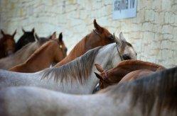 arabian-horses kudybadorota pxby