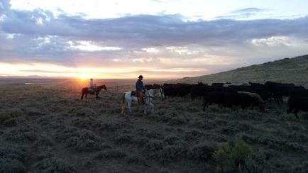 cattle-Amanda Biles pxby